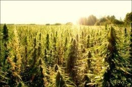 hemp_sunrise